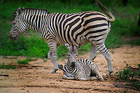 KRUGER NATIONAL PARK, SOUTH AFRICA, DECEMBER 2004.  A zebra mother and her baby. Kruger National Park offers good viewing of the 'Big Five' and many other species. Photo by Frits Meyst/Adventure4ever.com