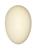 Wigeon - Anas penelope