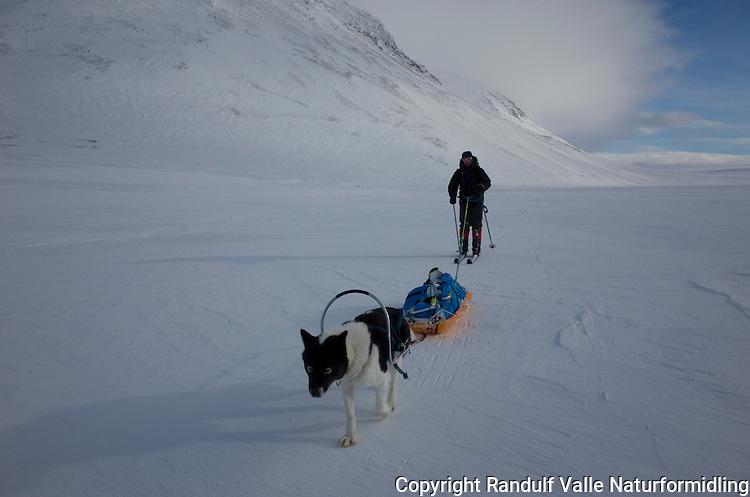 Mann går på ski med pulk og grønlandshund i Stabbursdalen nasjonalpark. ----- Man skiing with greenland dog.