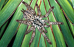 Togo or Starburst Baboon Spider, Hetroscodra maculata, Tarantula, West Africa, captive, on palm leaf.Africa....
