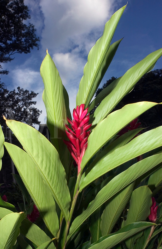 Ginger flower(Alpinia purpurata) and leaves in Costa Rica