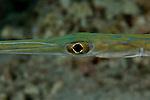 Cornetfish or flutefish (Fistularia commersonii)