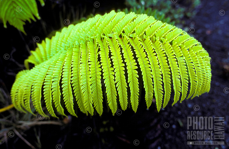Closeup of a large Amaumau fern in Hawaii Volcanoes National Park.