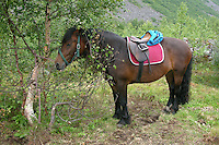 Wanderritt mit Pony in Nord-Norwegen, Skandinavien, fertig gesatteltes Pony, Wander-Ausritt, Ausritt, Reiten