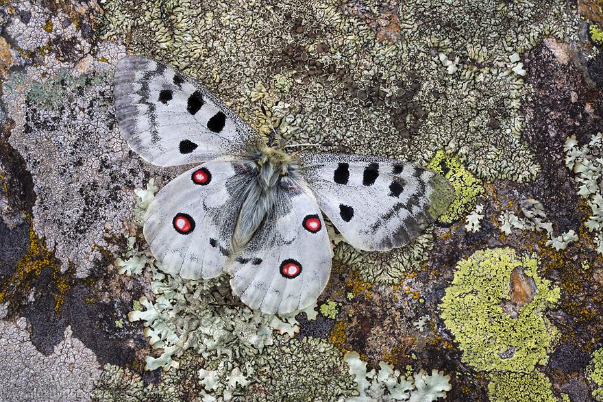 Apollo butterfly (Parnassius apollo) resting on lichen-encrusted rock. Nordtirol, Austrian Alps. June.