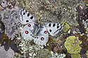Apollo butterfly (Parnassius apollo) resting on lichen-encrusted rock. Nordtirol, Austrian Alps. June.