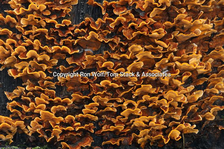 False Turkey Tails (Stereum hirsutum). Wunderlich County Park. Woodside, San Mateo County, Calif.