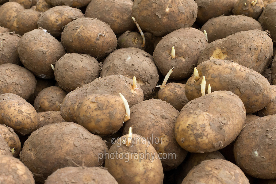 Maris Piper ware potatoes treated with CIPC chitting in store - Lincolnshire, February