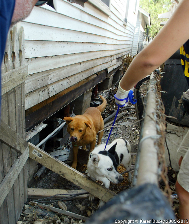 Pasados Safe Haven volunteers rescue animals after Hurricane Katrina struck New Orleans on September 15, 2995. © Karen Ducey
