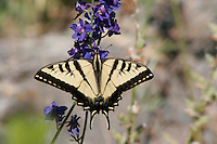TIGER SWALLOWTAIL BUTTERFLY ON LARKSPUR