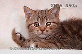 Carl, ANIMALS, photos(SWLA3905,#A#) Katzen, gatos
