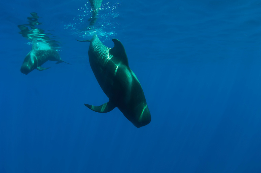 Shortfin pilot whales underwater (Globicephala macrorhynchus) in Canary Islands, Spain, Europe.