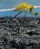 Lone flowering tree in lava field. Hawaii