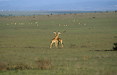 Nairobi, Kenya. Giraffes and wildebeest grazing overgrazed National Park land on the outskirts of the city.