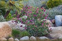 Callistemon 'Jeffers' (Purple Bottlebrush) Australian shrub flowering in Schaff garden