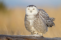 Snowy Owl (Bubo scandiacus). Grays Harbor County, Washington. December.