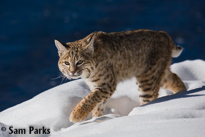 Wild bobcat. Yellowstone National Park, Wyoming.