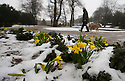 26/03/15<br /> <br /> Daffodils poke through the snow in Pavilion Gardens, Buxton, after overnight snow in the Derbyshire Peak District.<br /> <br /> All Rights Reserved - F Stop Press.  www.fstoppress.com. Tel: +44 (0)1335 418629 +44(0)7765 242650