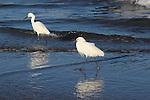 Snowy egrets in ocean