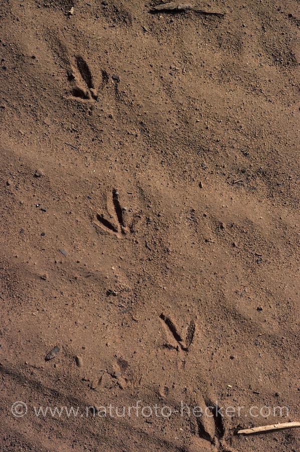 Taube, Spur einer Taube im Sand, Fußspur, Fußabdruck, Trittsiegel, Vogelspur
