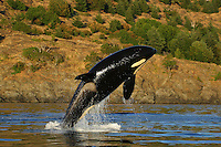 "Killer Whale (Orcinus orca) breaching in Haro Strait.off San Juan Island,.Washington,  U.S.A.  ***To Buy/License this Image you must contact MASTERFILE at WWW.MASTERFILE.COM or 1-800-387-9010.  For Fine Art Prints click on ""add to cart""."