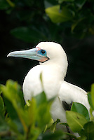 Although it is the most abundant of the three booby species in the Galápagos Islands, the red-footed booby it is the least observed. Unlike the blue-footed and nazca boobies, the red-footed nest in trees and bushes and are an endemic subspecies to the islands..