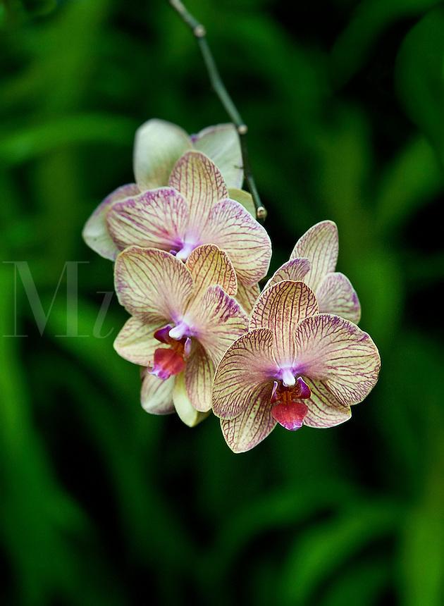 Orchid, Polystachya cucullata