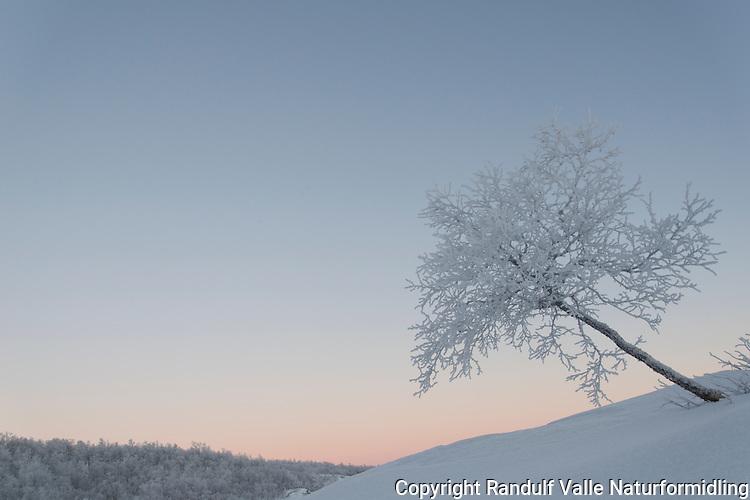 Midtvinter i Stabbursdalen nasjonalpark, akkurat i det mørketida slutter. ----