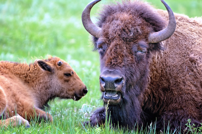 Male bison laying down with a young calf in Custer State Park, South Dakota