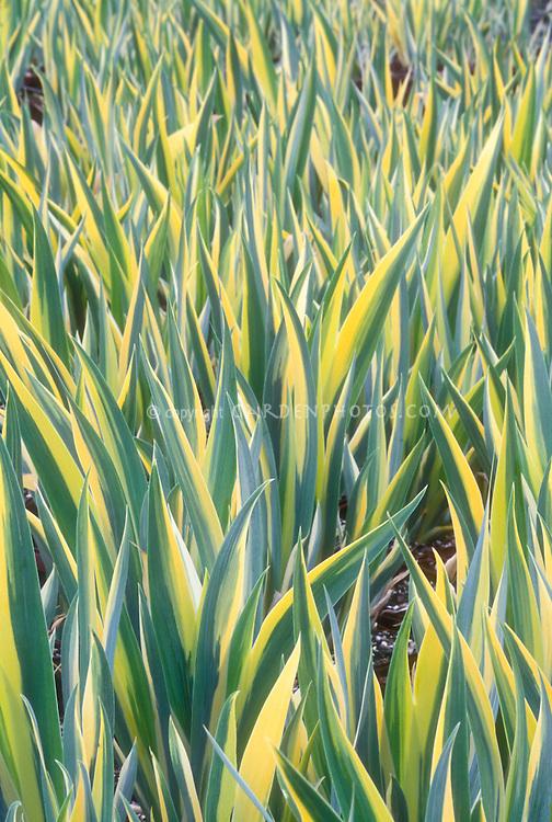 Iris pallida 'Zebra' = Iris pallida 'Argentea Variegata' variegated leaves