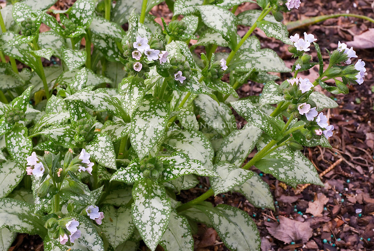 Silvery foliage of perennial Pulmonaria 'Moonshine'