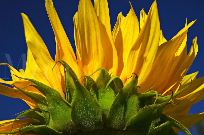 Sunflower against the blue sk