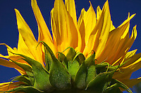 Sunflower against the blue sk