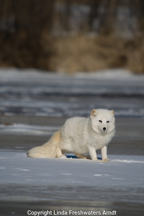 Arctic fox (Alopex lagopus) standing on the snow-covered ice