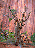 Grand Staircase - Escalante National Monument, UT<br /> Juniper tree against the red sandstone cliffs in Long Canyon along the Burr Trail road