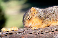 Baby eastern fox squirrel, Sciurus carolinensis, sleeps on branch near nest and is approached by a yellow wooly caterpillar.