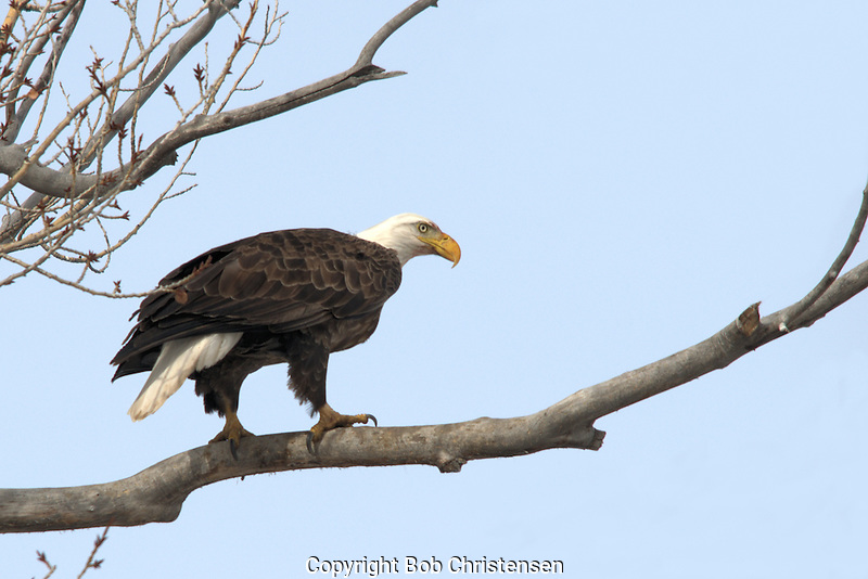 Photos of Wildlife - Eagles