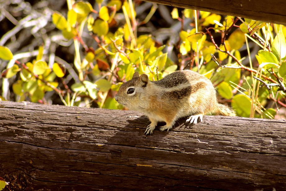 Yuma antilope squirrel (Ammospermophilus harrisi)