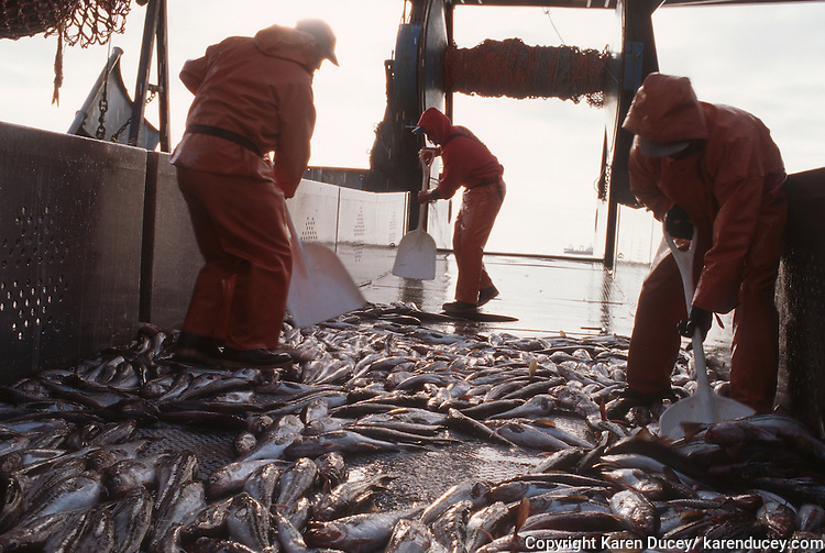 The F/V Alsea, a dragger, also known as a trawler, fishes for pollock in the Bering Sea.