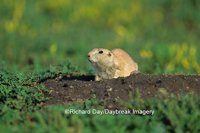 01998-00214 Black-tailed Prairie Dog (Cynomys ludovicianus)    ND