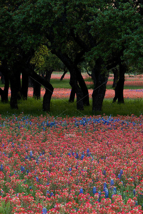 portrait view of bright red Paintbrush and Bluebonnets dominate Texas Live Oak Tree Meadow