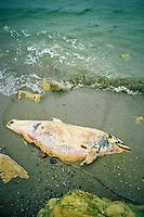 ROMANIA?, 05.1996, Eforie Sud. A dead dolphin on the beach in Eforie Sud, near the Danube delta. He was asphyxiated by residues of petroleum products. Dolphins in the black sea are the first victims of pollution discharged into the river..ROUMANIE, 05.1996, Eforie Sud..Un dauphin mort sur la plage de Eforie Sud, à proximité du delta du Danube. Il a été asphyxié par des résidus de produits pétroliers. Les dauphins de la mer Noire sont les premières victimes des pollutions déversées dans le fleuve..© Andrei Pandele / Est&Ost Photography.