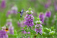 I was photographing these Purple Horsemint (Texas Wildflowers) when I captured this image of a hummingbird looking for some sugar. This hummingbird photograph is also displayed in the Texas Hill Country Alliance Calendar 2013 for the month of June.