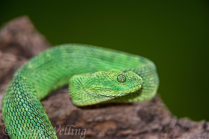 489590006 a captive bluish-green coloration west african bush viper atheris chlorechis sits coiled on a limb