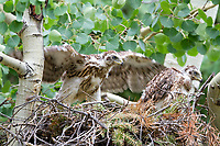 A young Goshawk, Accipiter gentilis,  tests his wings in a nest in Larimer County, Colorado.
