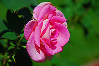 Rose in the sunshine