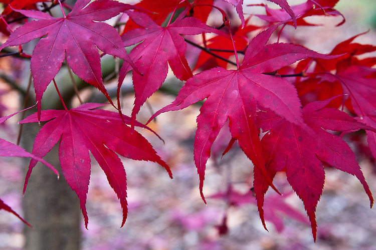 Acer Palmatum Red Emperor Alan Buckingham
