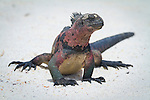 A marine iguana on a sandy beach on the island of Espanola in the Galapgos National Park, in Ecuador, South America