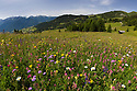 Alpine meadow, Nordtirol, Austrian Alps, Austria, July.