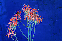 The orange flowers of an aloe in bloom take on an exotic air when juxtaposed against a dark blue wall in a design by Mike Shoup at the Antique Rose Emporiumin San Antonio, Texas.